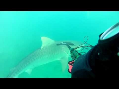 hickam tiger shark