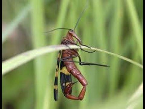 Alacrán Volador o Escorpión Volador en México