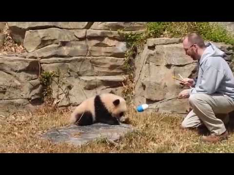 Giant Panda Bao Bao Learning to Target 4/20/2014