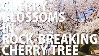 Cherry blossoms in Tohoku: Rock-breaking cherry tree