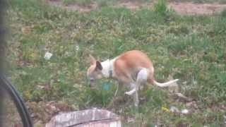 Chihuahua dog poops on TWO legs, with back legs in air! Addie Acres