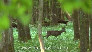 Roe Buck And Predator Hunting In Hungary (HD)