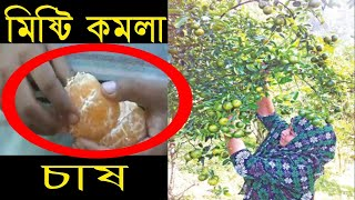 Amazing Orange Cultivation in Sylhet Bangladeh   Agriculture TV   Krishi News