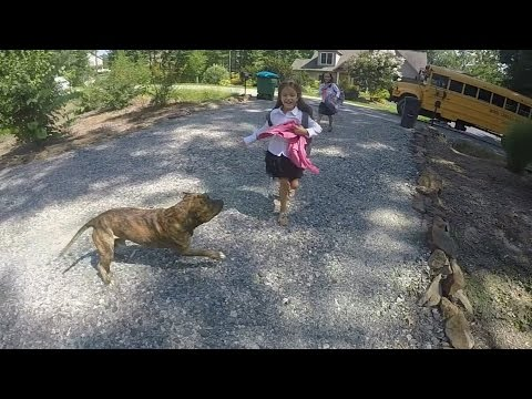 Brindle pitbull picking up kids from School Bus