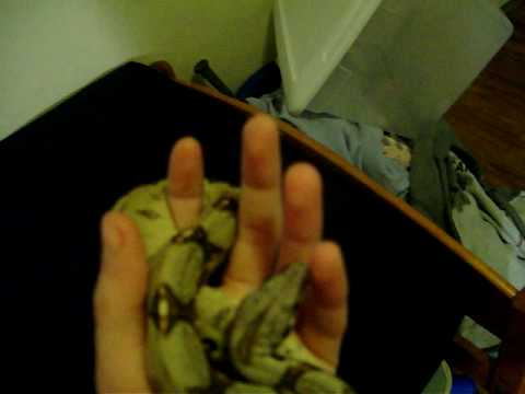 Ozzy the red tailed boa constrictor