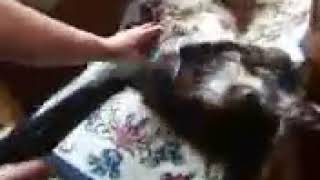 Vacuuming your cat.. Sam Loves it..
