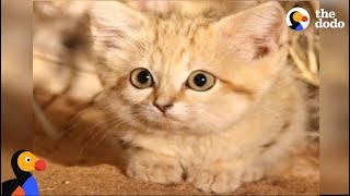 Baby Sand Kittens CAUGHT ON CAMERA For The First Time | The Dodo