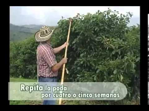 Podas del cultivo de aguacate.