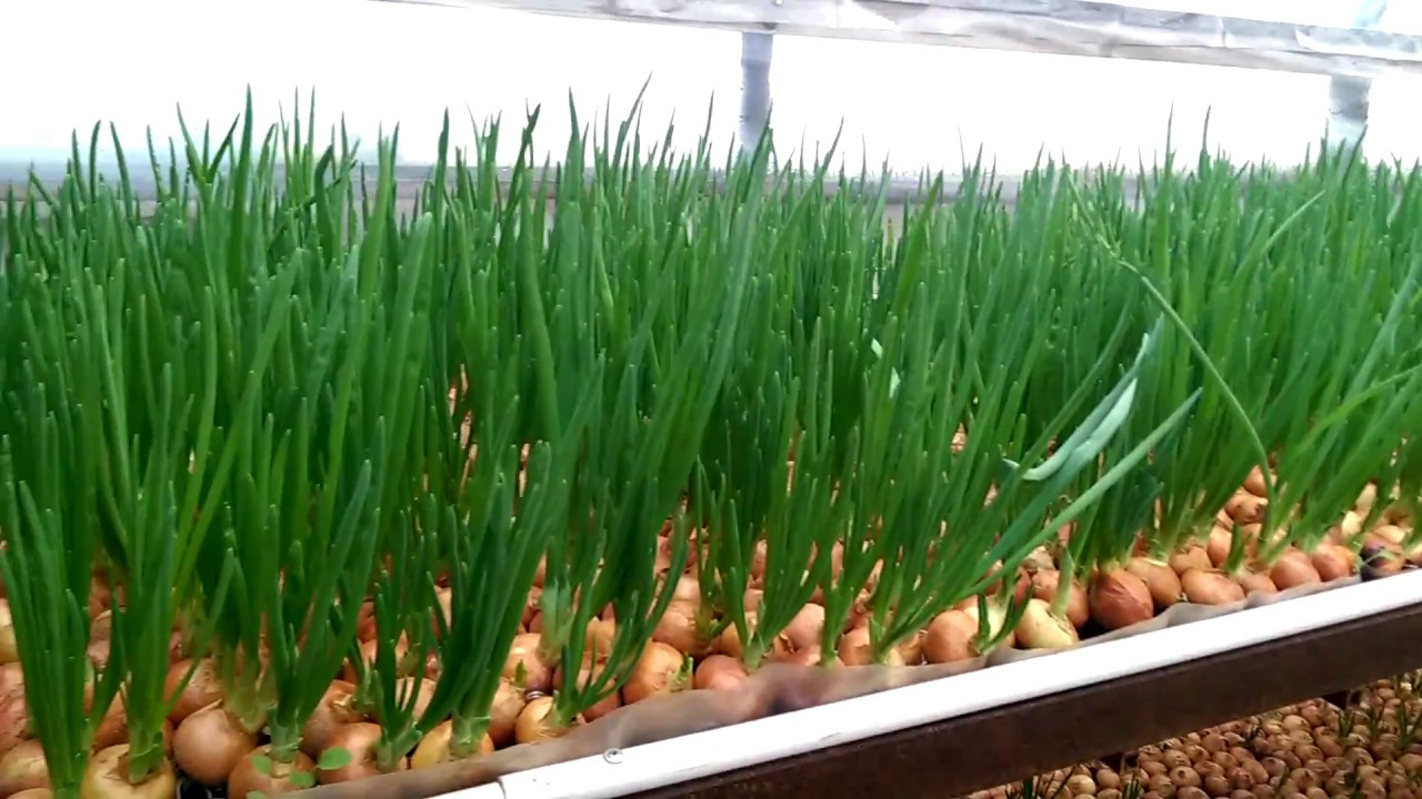 Технология выращивания лука из семян на перо 57