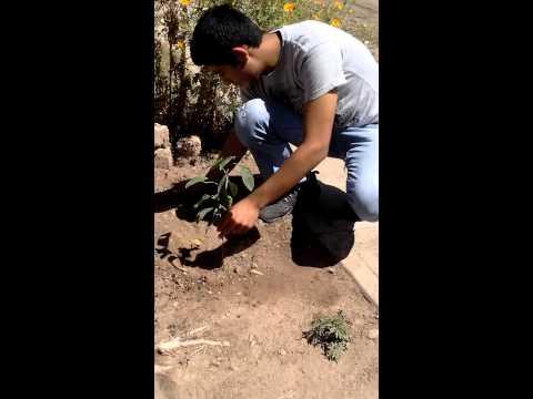 Planta un Arbol- Prepa Mochis- 3-14- 2015