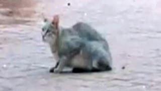 African Wild Cat Kills A Bird While Doing A Backflip - Latest Wildlife Sightings