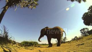 GoPro stomped on by rogue bull elephant and survives!