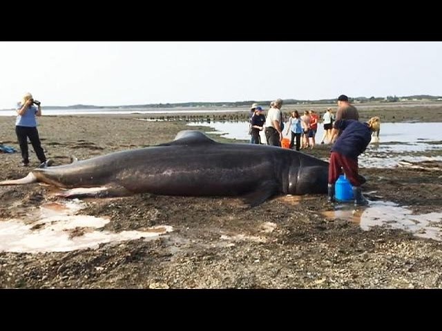 Beachgoers try to save 30-foot long shark - no comment
