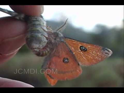 Silk Moth Mating: Saturnia albofasciata (+hand-pairing)