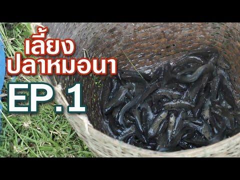 เลี้ยงปลาหมอนา ในบ่อปูน EP.1 Climbing perch. キノボリウオ #อุทยานบ้านสวน