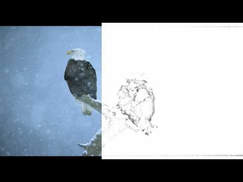 Auto Draw 2: Bald Eagles In Falling Snow, Kenai Peninsula, Alaska