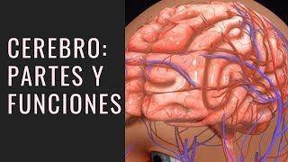 Cerebro Humano: Partes y Funciones (con Imágenes) 🧠