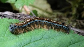 Caterpillar Sting   How to Treat a Caterpillar Sting