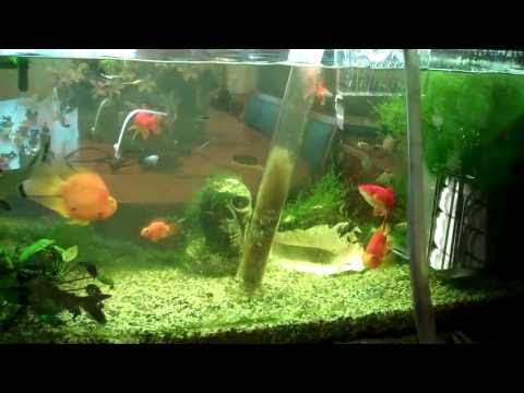 Cleaner Fish Fish Tank Fish Tank Water Change
