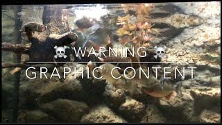 Piranha vs frog live feeding conclusion ! (WARNING GRAPHIC CONTENT)