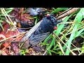 Youtube Thumbnail Cicada Swarm Plague Frenzy Caught On iPhone Camera