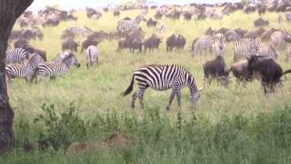 Drama on the Serengeti - Lion vs Zebra