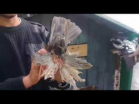 Узбекские бойные голуби.