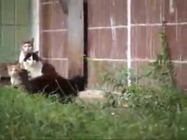 En  Rusia las ratas atacan a los gatos