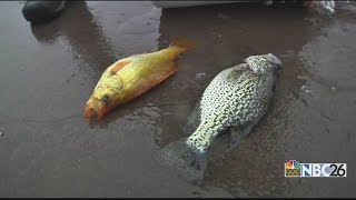 "Fish Tale: Unusual ""golden"" fish catches eye of DNR"