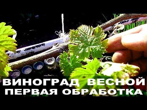 Виноград весной   Первая обработка от болезней и вредителей