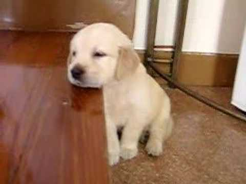 Cute Puppy falling asleep. Golden retriever puppy