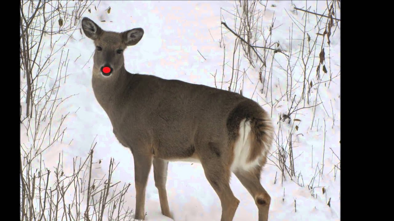 Rudolph the Red Nose Reindeer sighting - YouTube