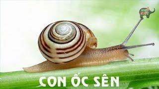 Tiếng kêu động vật HÌNH ẢNH VÀ TIẾNG KÊU CỦA CON ốC SÊN  Sounds and image of Snail
