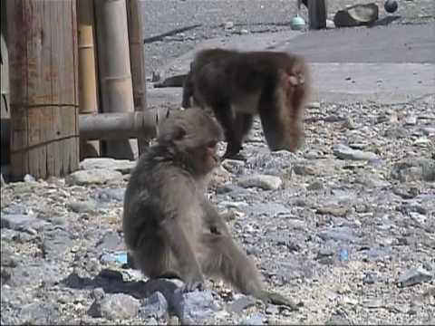伊豆、波勝崎苑の猿(もっけちゃんとシャボン玉)Japanese Macaque Monkeys