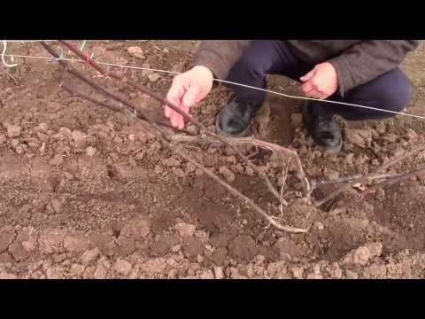 Как сформировать куст винограда – мои советы (Пензенская область)