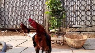 Cock  | Hen sound | rooster | kodi | hens life |