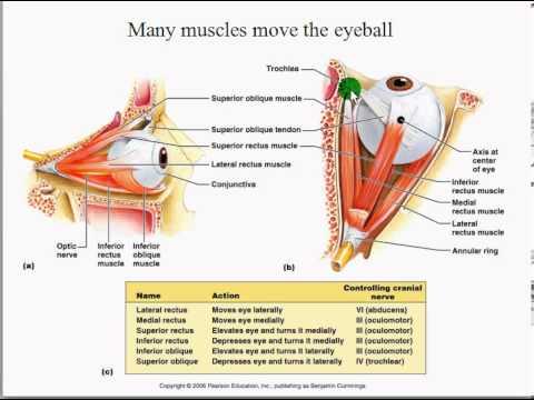 Extraocular Muscles Test Eye Part 1 Extraocular Muscles