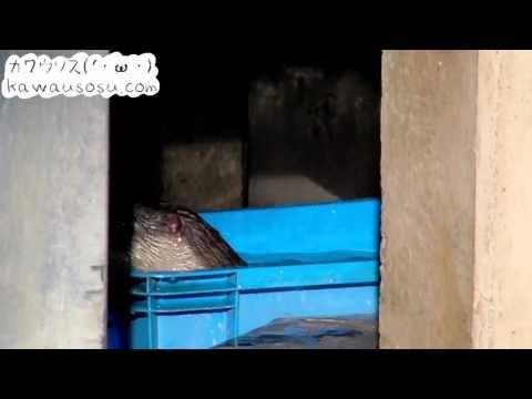 コツメカワウソの赤ちゃん 水なれ開始(市川市動植物園)