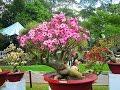 Plumeria: world's most beloved garden plant