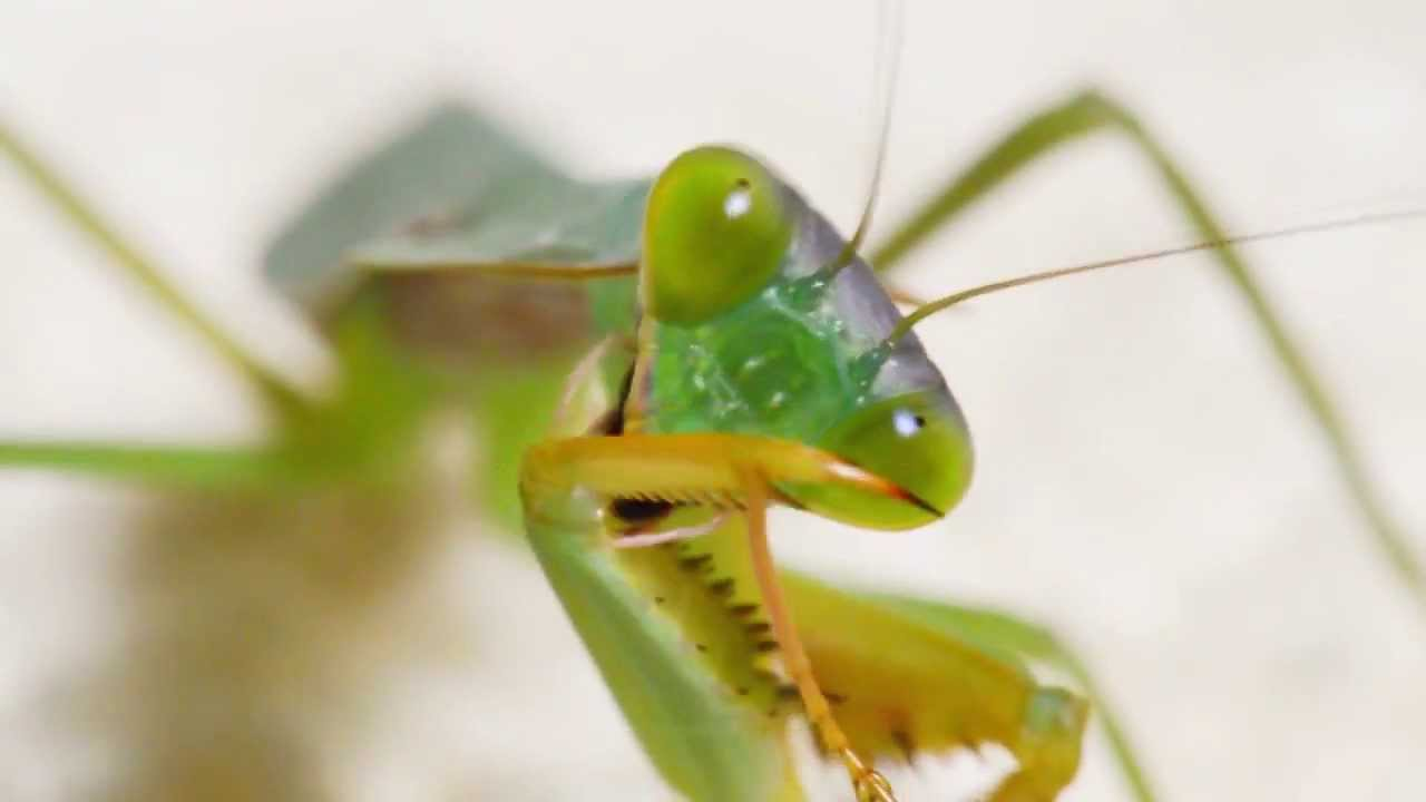 Giant shield mantis