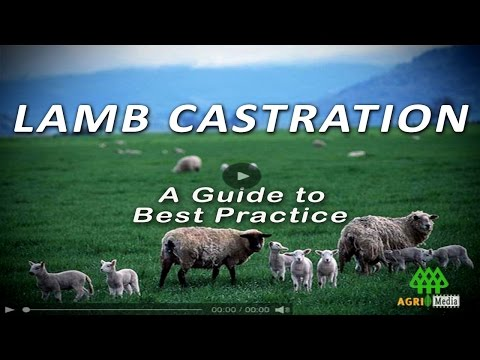Lamb Castration - A Guide To Best Practice video