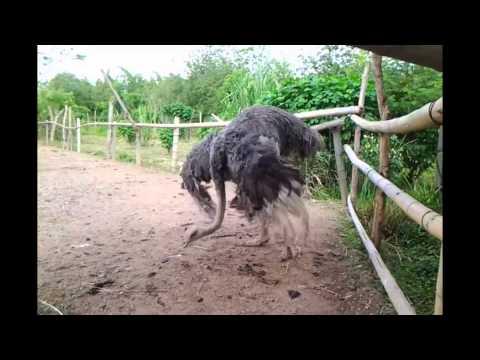 Etologia de los avestruces