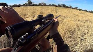 Pigs on the run. Western NSW pig hunt