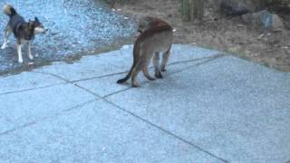 Hungry Cougar Vs Brave Dogs Highlands Victoria