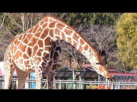 キリンのハートマークをさがそう! - 埼玉県こども動物自然公園 -