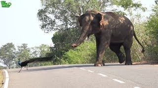 Hungry Elephant wants everyone to feed him
