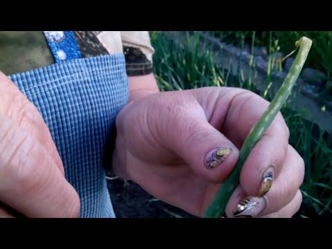 0 - Цибулю їсть черв'як чим обробити народні засоби