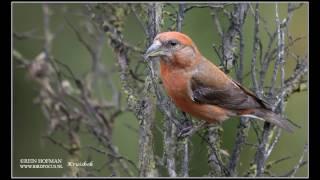 Zang van vogels