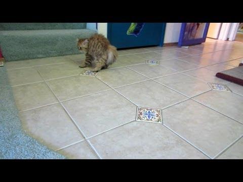 12 08 19 Crazy Persian kitten