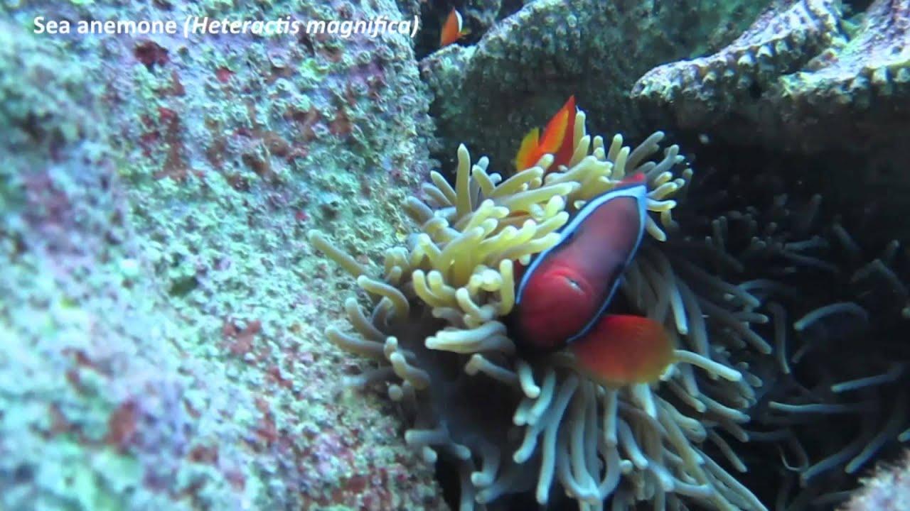 Tomato clownfish anemone - photo#19